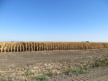 UCCE Grain Corn Variety Trial, Delta